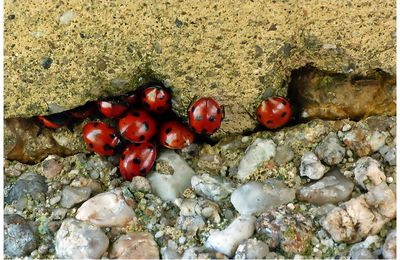 COCCINELLES AU PUY D'YSSON (63)  VIDEO