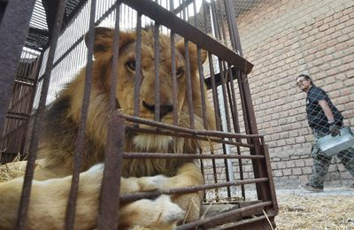 """Accueil des lions du Buffalo Circus : la Fondation Brigitte Bardot n'est """"pas en position de force"""""""