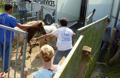La Fondation Bardot récupère 37 poneys en souffrance à Gournay-en-Bray