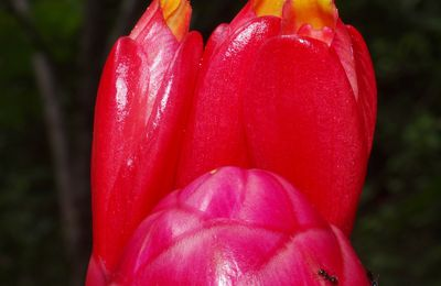 Costus spiralis (canne congo)