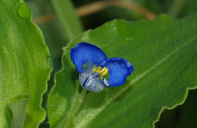 Commelina benghalensis (radié crapaud)