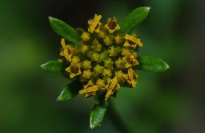 Bidens cynapiifolia (herbe aiguille, persil diable)