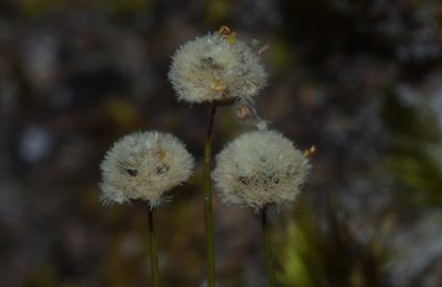Paepalanthus subtilis