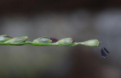Thrasya reticulata