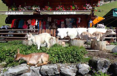 Les Lindarets: Village des chèvres