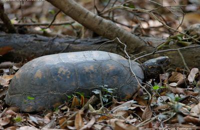 tortue terrestre du Brésil