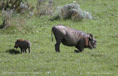 Ethiopie 2013 - Phacochère