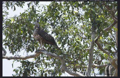 Sri Lanka - Aigle huppé