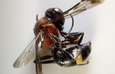 Oryttus concinnus F