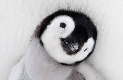Did you know? Today is World Penguin Day/ Le saviez-vous? Aujourd'hui, c'est la Journée Mondiale du Pingouin