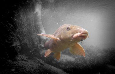 Derniers barbillons en Seine mais quel poisson !