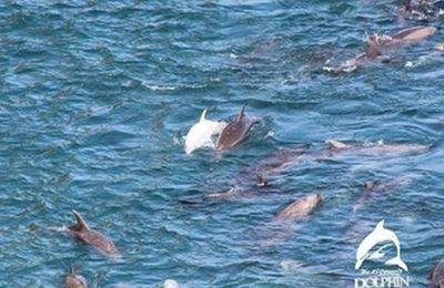 Angel, triste destin d'un bébé dauphin albinos