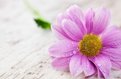 Fleur - Rosée - Wallpaper - Free