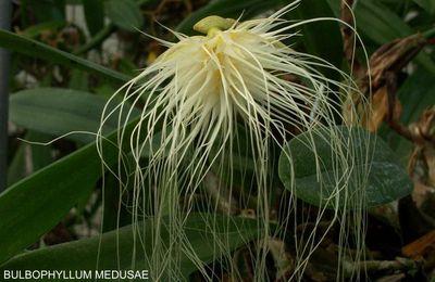 Si l'orchidée m'était contée : les bulbophyllum