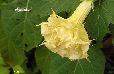 Langage et mythologie des fleurs  : Le Datura