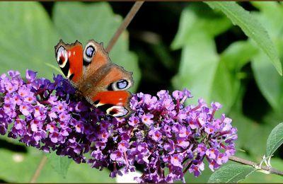 """Papillon """"Paon européen"""""""