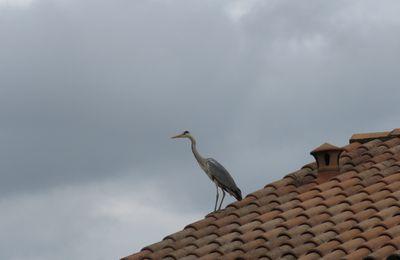 Moments de vie.............. Un héron sur le toit et une biche aux abois.