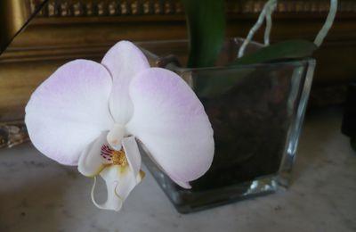 mon keiki devenu orchidée refleuri