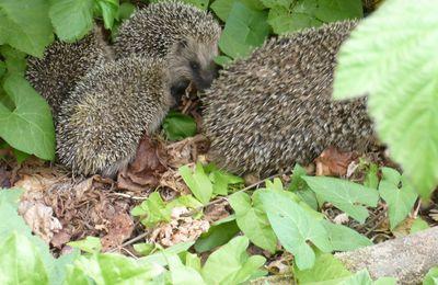 Une famille hérisson de retour dans mon jardin !!