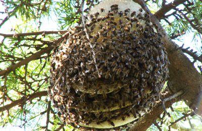 Comme chez les abeilles c'est la ruche qui devient l'animal