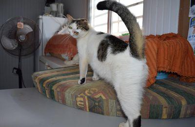 GARFIELD - chat mâle - né le 1er janvier 2012 - le 1er des adoptés pendant les alertes IRMA et JOSE de septembre 2017.