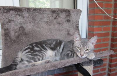 A l'adoption : HOBBES, grand chat marble silver mâle de 3 ans