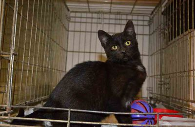 A adopter : PAMELA, chatte noire née mi-juin 2015