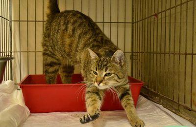 A l'adoption : LISELOTTE - chatte stérilisée d'1 an
