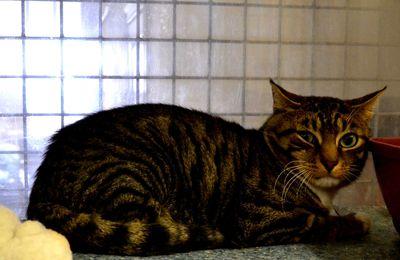 chat sauvage mâle castré