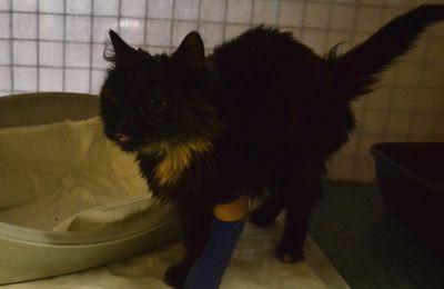 Elle est adoptée !!! : MALTA-SARA, très douce petite chatte à poil long née en 2014 - 3 pattes