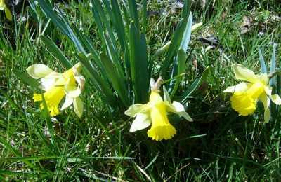 jonquilles sauvages pour le groupe flowerpower(facebook)