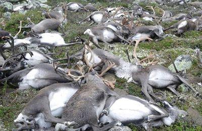 Plus de 300 rennes morts foudroyés ce week-end en Norvège