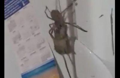 Vidéo : une araignée géante transporte une souris