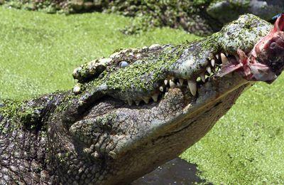 Thaïlande: le crocodile qui n'aimait pas les selfies