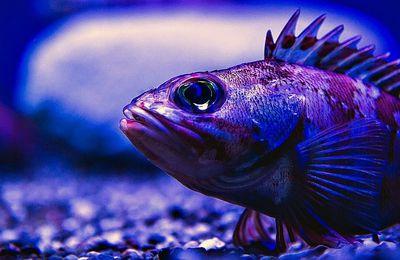 Notre avenir alimentaire repose-t-il sur les poissons des profondeurs des océans?