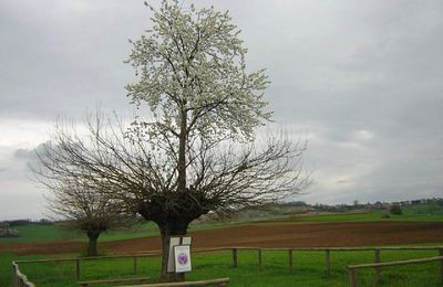 a cherry mulberry tree at Casorzo - Italy