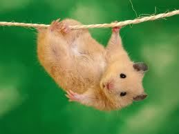 """Cilly und Tilly (Goldhamster """"Harry"""")"""