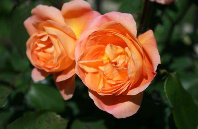 tailler ses rosiers pour stimuler la floraison