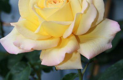 Jardinage : Les rosiers , la taille d'hiver