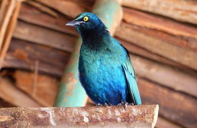 un bel oiseau endémique d'Ethiopie, le métalik