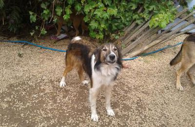 A l'adoption : Shadow, un adorable chien de type colley