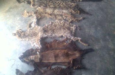 Togo: Deux individus arrêtés en possession de 4 pointes d'Ivoire et 6 peaux d'espèces protégées