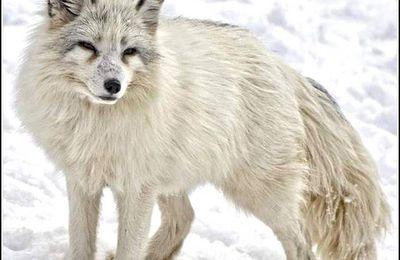 Animaux sauvages - renard arctique