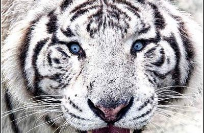Animaux sauvages - tigre blanc