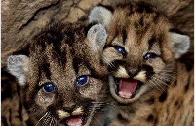 Animaux sauvages - pumas