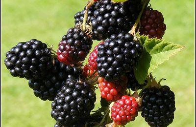 Les fruits - mûres