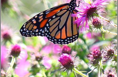 Les papillons - monarque