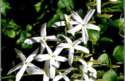 Le jasmin dans le langage des fleurs