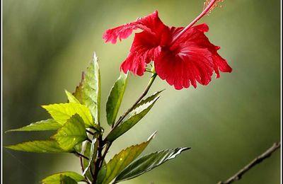 Les fleurs - hibiscus