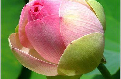 Les fleurs - lotus